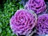 pink-cabbage-rome